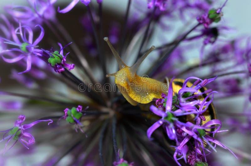 Slak op purpere bloemen stock foto