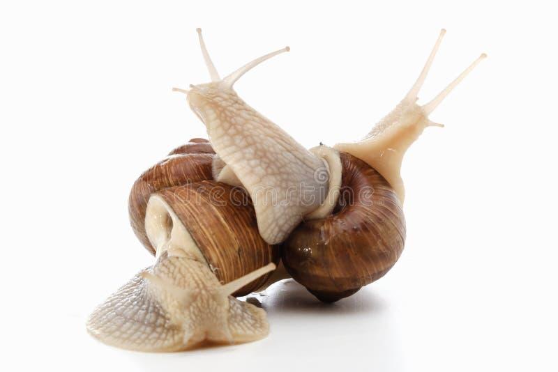 Slak wit bruin dier als achtergrond slijmerig shell royalty-vrije stock afbeelding