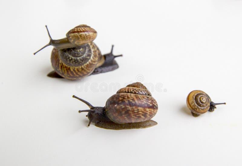 Slakken op witte achtergrond worden geïsoleerd die royalty-vrije stock foto's