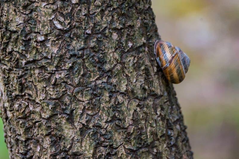 Slakschroef Pomatia op dichte omhooggaand van de boomstam stock fotografie