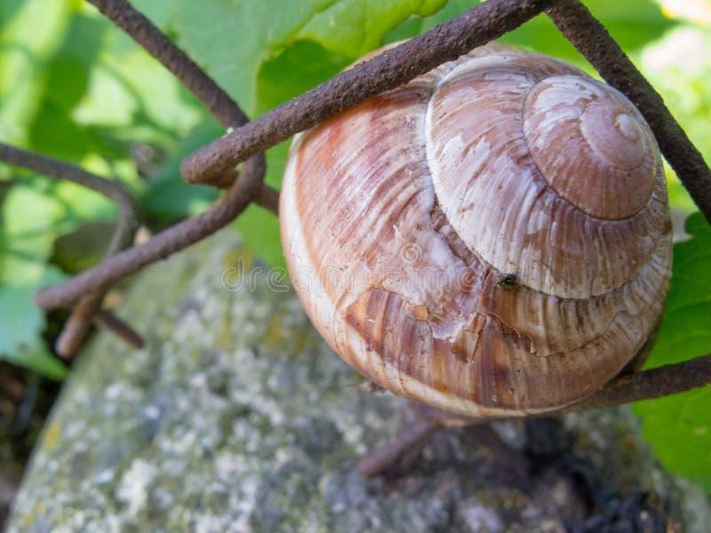 Slakslaap in shell op een roestige draad het opleveren tuinomheining stock foto's