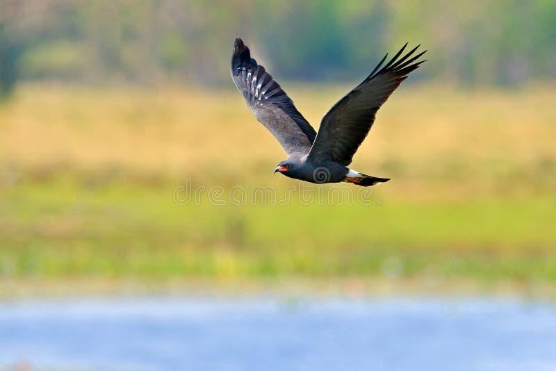 Slakvlieger, Rostrhamus-sociabilis, roofvogel van Brazilië Pantanal Vogel in de habitat van watermaart Vliegend vlieger abave wat stock fotografie