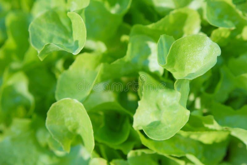 Slalandbouwbedrijf Groene slainstallaties in de groei bij gebied stock fotografie