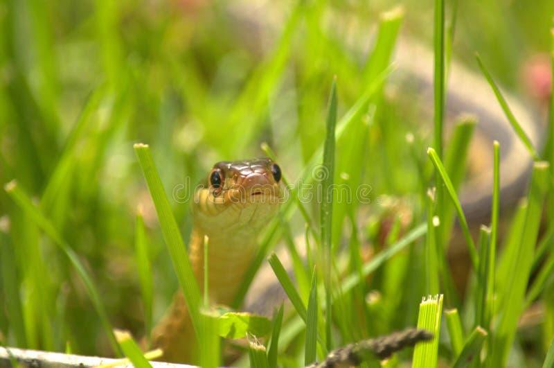 Slang in het Gras stock afbeeldingen
