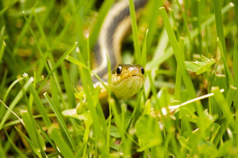 Slang in het Gras stock fotografie