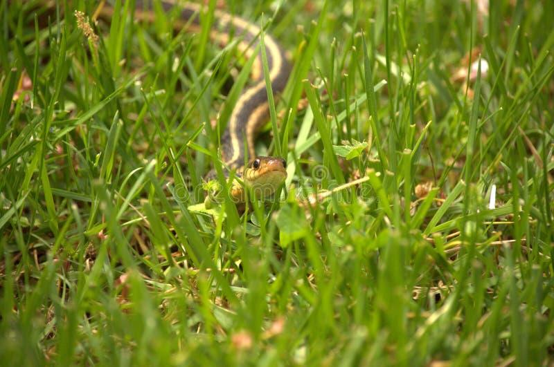 Slang in het Gras stock foto's