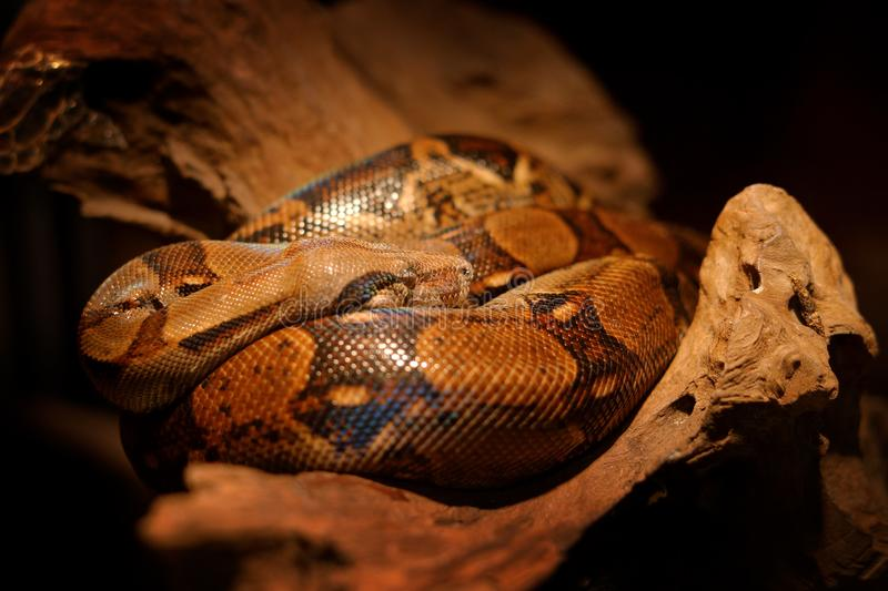 Slang op de boomboomstam Boaconstrictor slang in de wilde aard, Belize Het wildscène van Midden-Amerika Reis in Centraal stock foto's