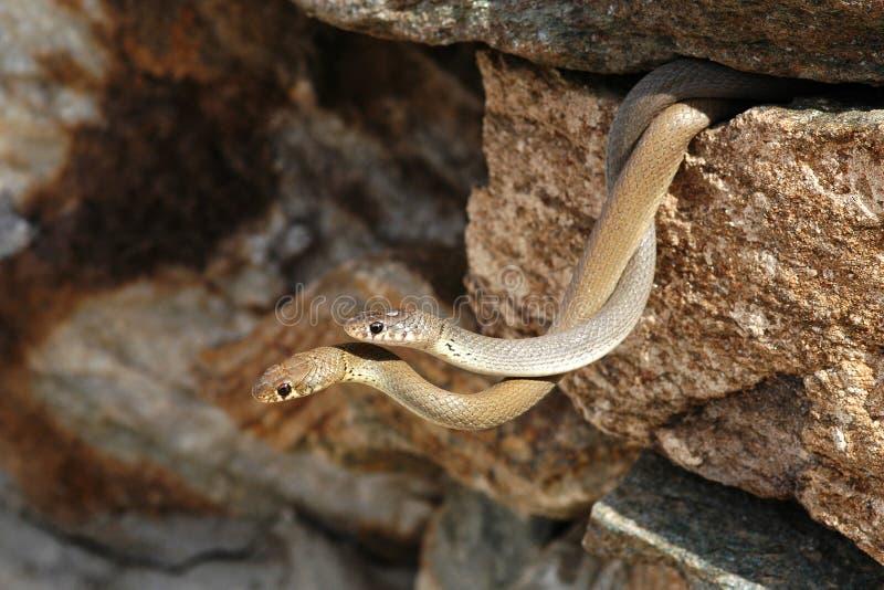Slangen in liefde stock fotografie