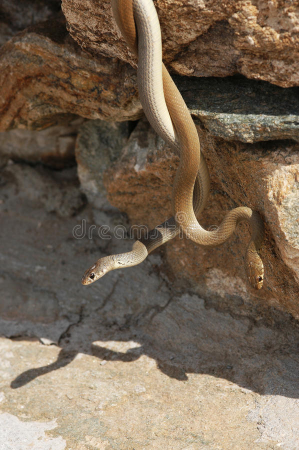 Slangen in liefde stock afbeeldingen
