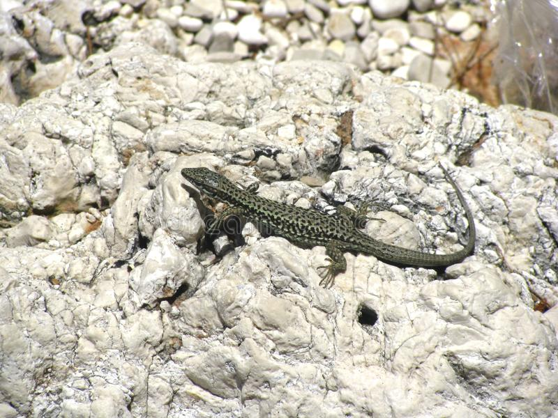 Slanke groene hagedis die op een rots in Kroatië zonnebaden stock foto's