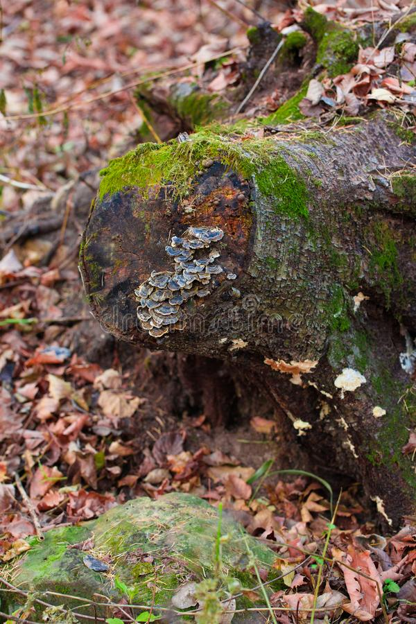 A slanted moss tree stump stock photography
