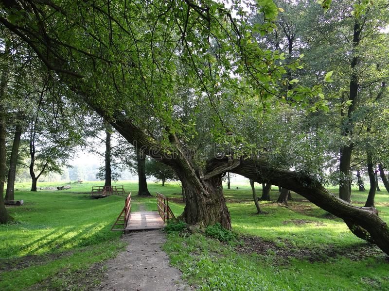 Slanted tree in a green park stock images