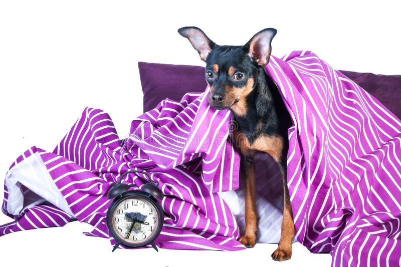Slaperig die puppy in bed in deken wordt verpakt royalty-vrije stock fotografie
