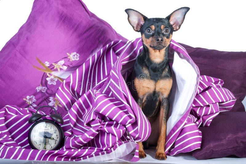 Slaperig die puppy in bed in deken wordt verpakt stock foto's