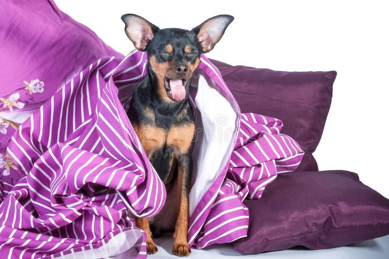 Slaperig die puppy in bed in deken wordt verpakt stock afbeelding