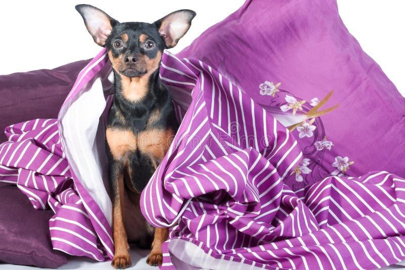 Slaperig die puppy in bed in deken wordt verpakt stock foto