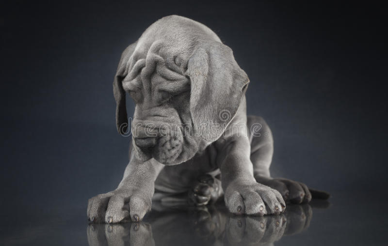 Slaperig Great dane-puppy stock foto's