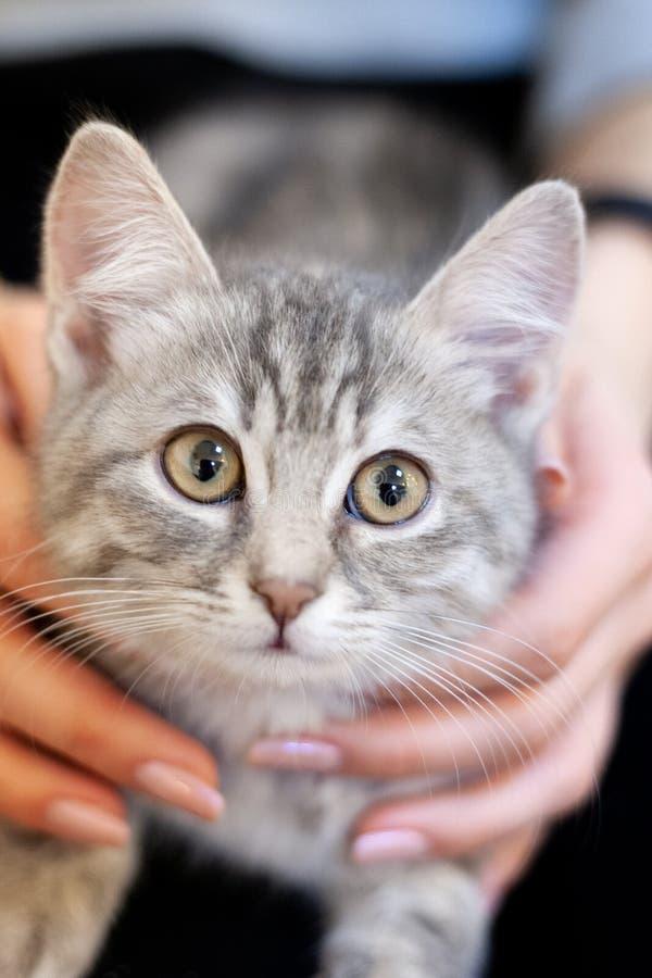 Slaperig katje in meisjesknieën huiskatje met een leuk aantrekkelijk gezicht het onbezorgde huisdierenleven royalty-vrije stock foto
