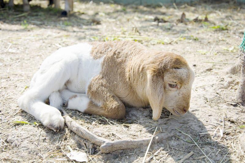 Slaperig lam ter plaatse, landbouwbedrijfdier royalty-vrije stock foto