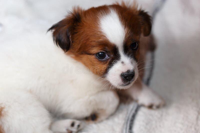 Slaperig pekingnese puppy stock afbeeldingen