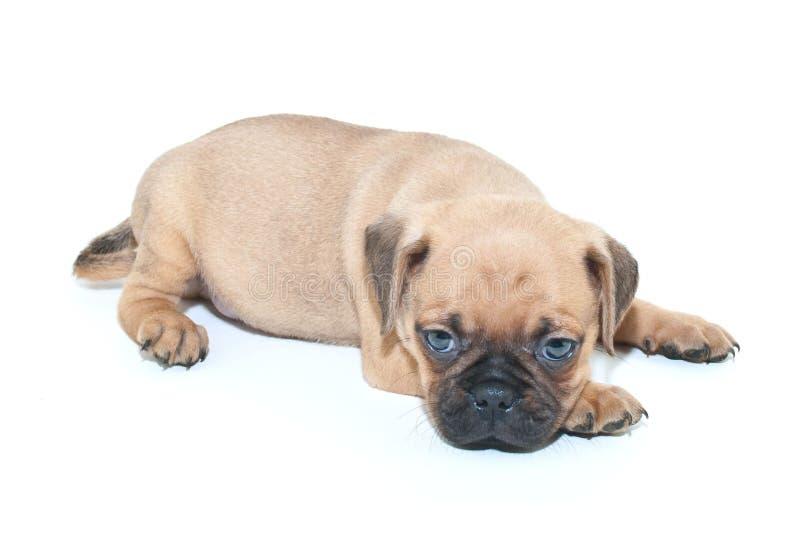 Slaperig Pug Puppy royalty-vrije stock foto's