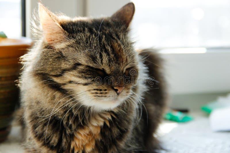 Slaperige grijze kattenzitting op venster stock afbeeldingen