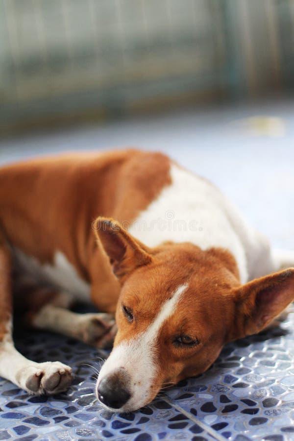 Slaperige Hond royalty-vrije stock foto's