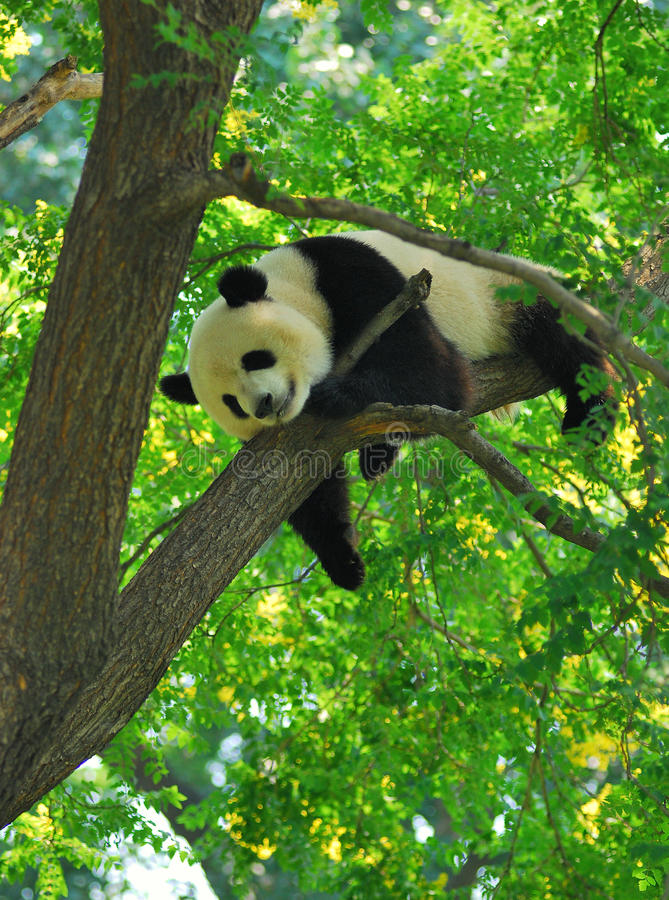 Slaperige Panda op de boom royalty-vrije stock afbeeldingen