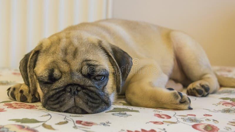 slaperige pug puppyclose-up stock afbeelding