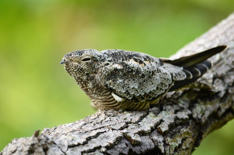 Slaperige Vogel stock fotografie
