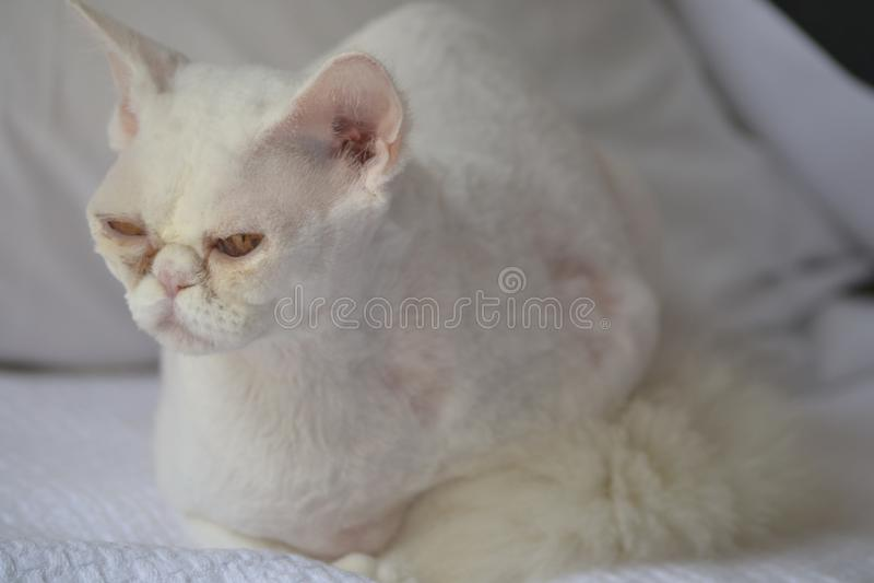 Slaperige Witte kat stock foto's