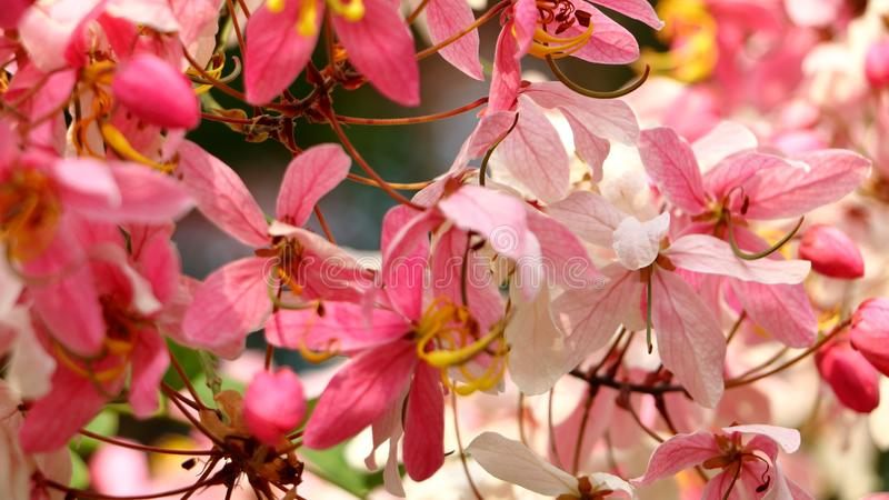 slapp fokus Java Cassia rosa dusch, Apple blomningträd, träd för regnbågedusch, Cassiajavanica, Javanese Cassia, Cassiajavanica,  royaltyfri fotografi