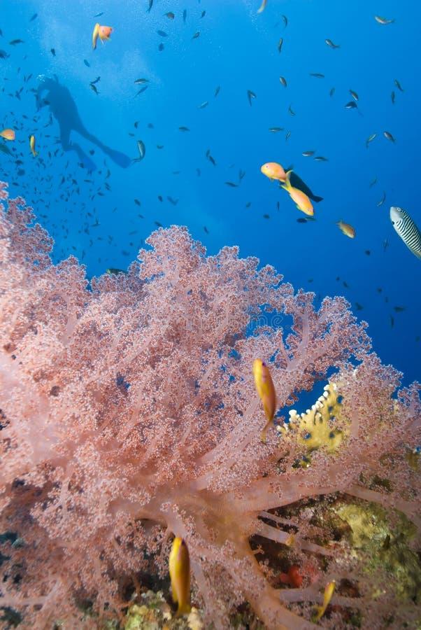 slapp orange scuba för bakgrundskoralldykare fotografering för bildbyråer