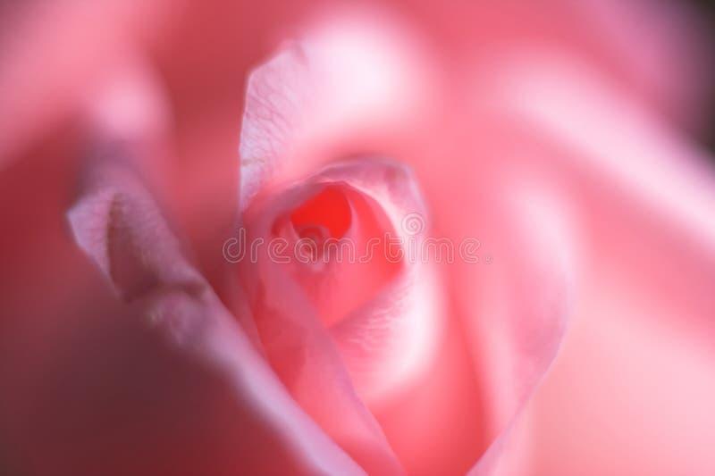 slapp pinkrose royaltyfri bild