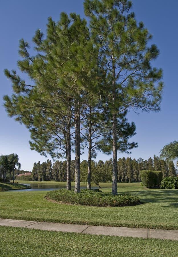 Slash Pines stock images