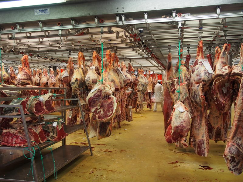 Slaughterhouse cow meat hanging. Slaughterhouse, butchered cow meat hanging stock photography