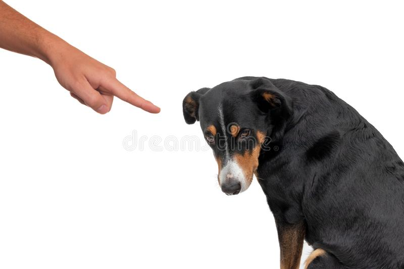 Slechte hond, die door eigenaar die met vinger duwen op hem richten, geïsoleerd op witte achtergrond royalty-vrije stock afbeelding