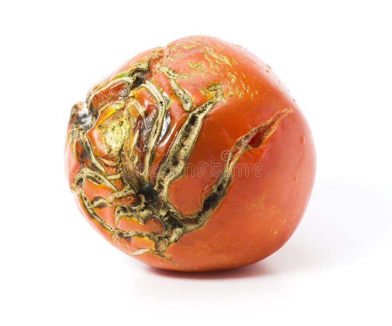 Slechte tomaat met geïsoleerdek littekens stock afbeeldingen