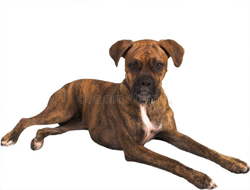 Slechtgezinde hond met het knippen van weg royalty-vrije stock fotografie