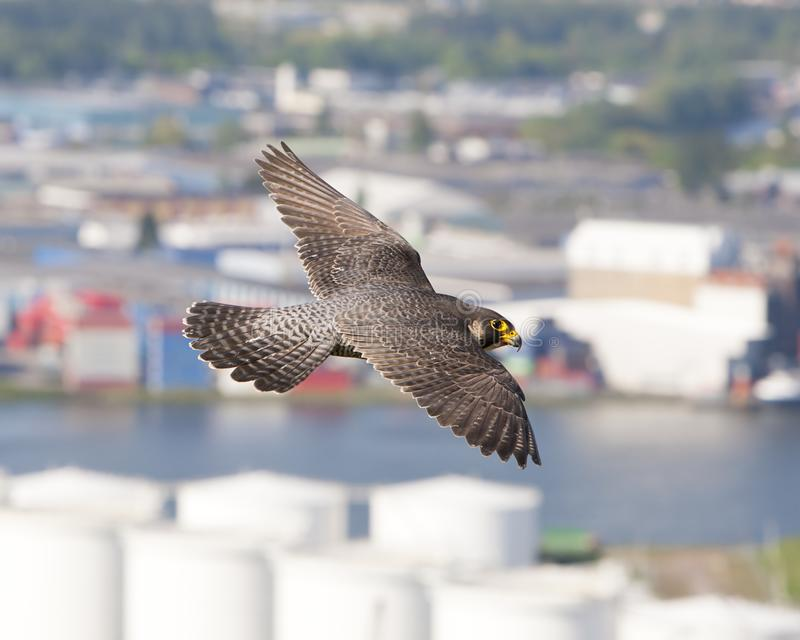 Slechtvalk Peregrine Falcon, Falco peregrinus royaltyfri foto