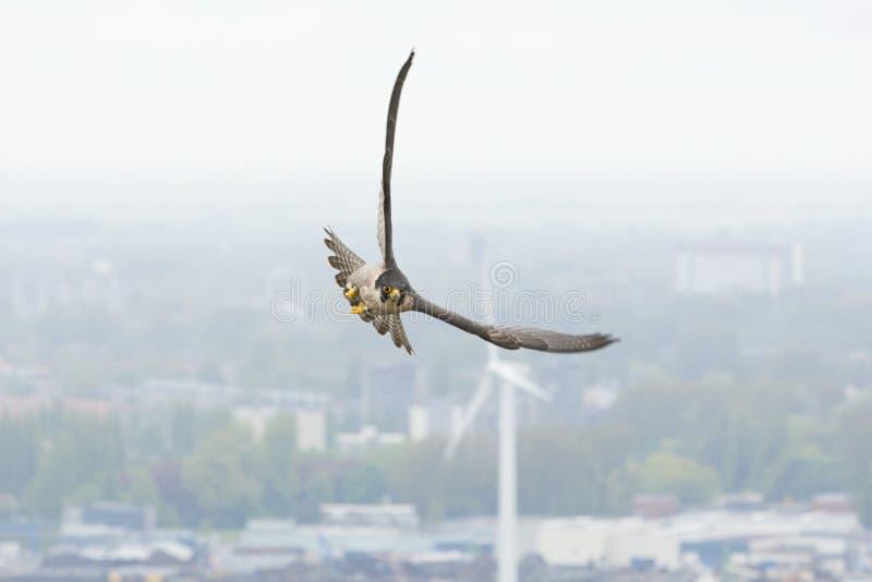 Slechtvalk Peregrine Falcon, Falco peregrinus fotografering för bildbyråer