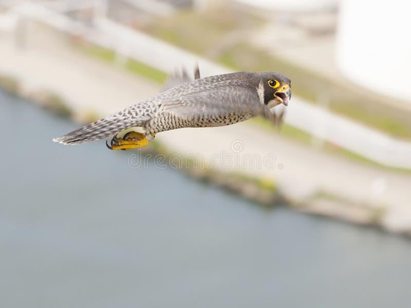 Slechtvalk, Peregrine Falcon, peregrinus de Falco fotos de stock