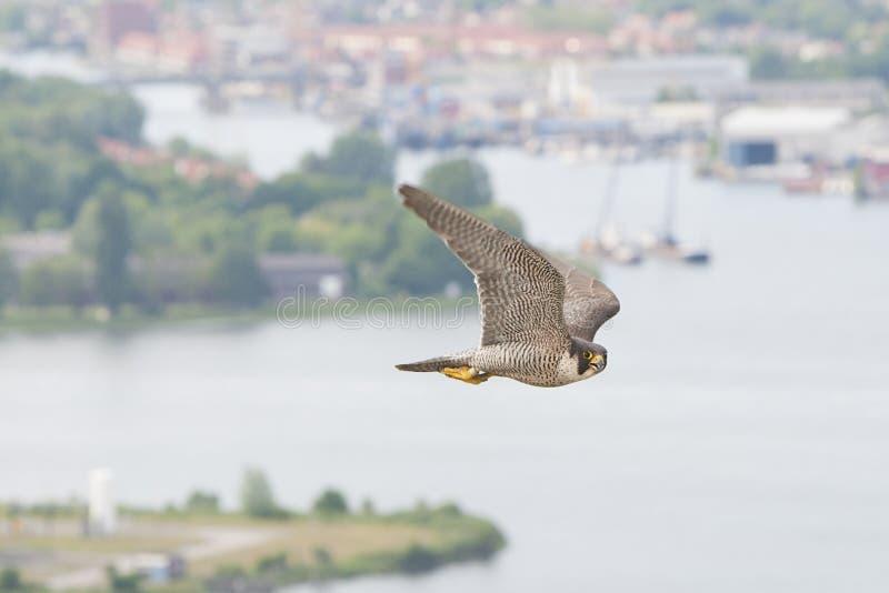 Slechtvalk, Peregrine Falcon, peregrinus de Falco imagens de stock