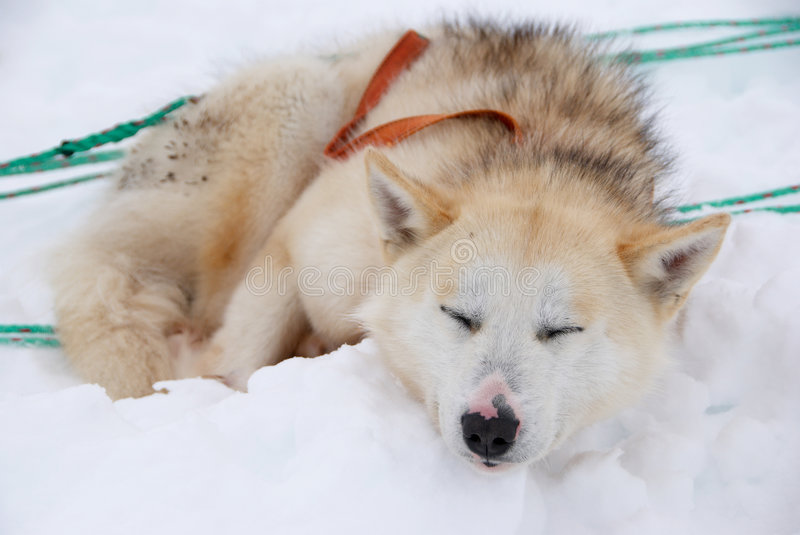 Download Sled dog stock image. Image of winter, quiet, wild, sledge - 5709199