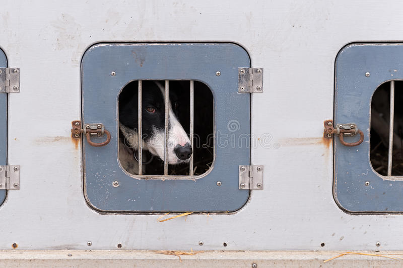 Sled Dog Confined in Dog Box. Prior to dog sled race royalty free stock photos