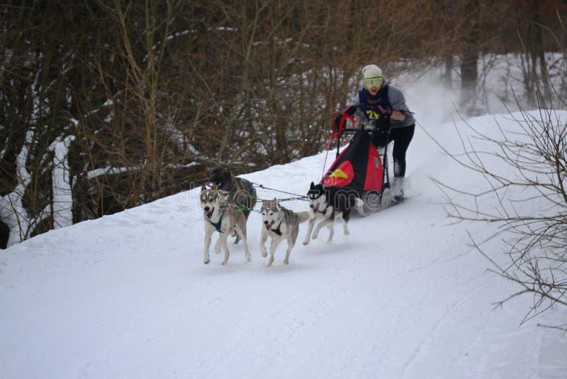 Sled dog running royalty free stock image