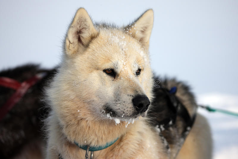 Sled Dog On The Pack Ice Of East Greenland Royalty Free Stock Photography