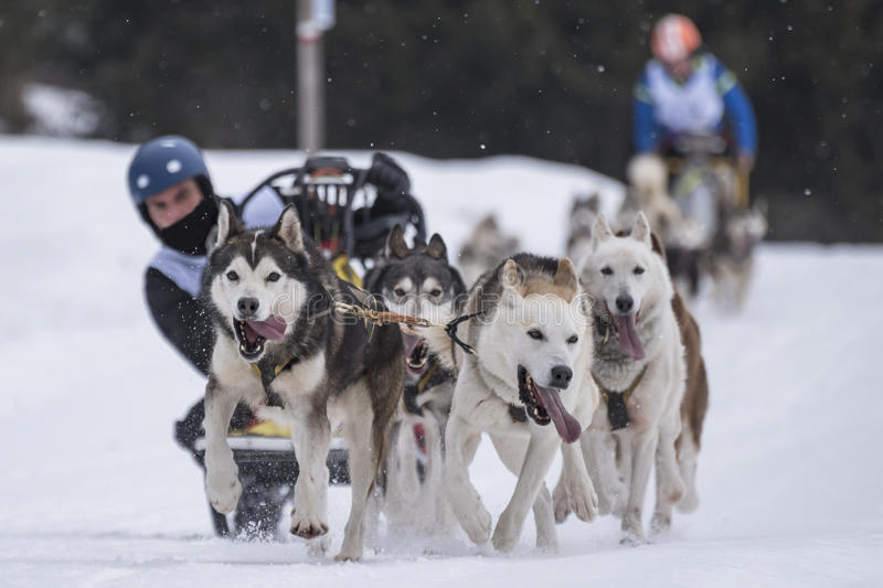 Sled dog stock image