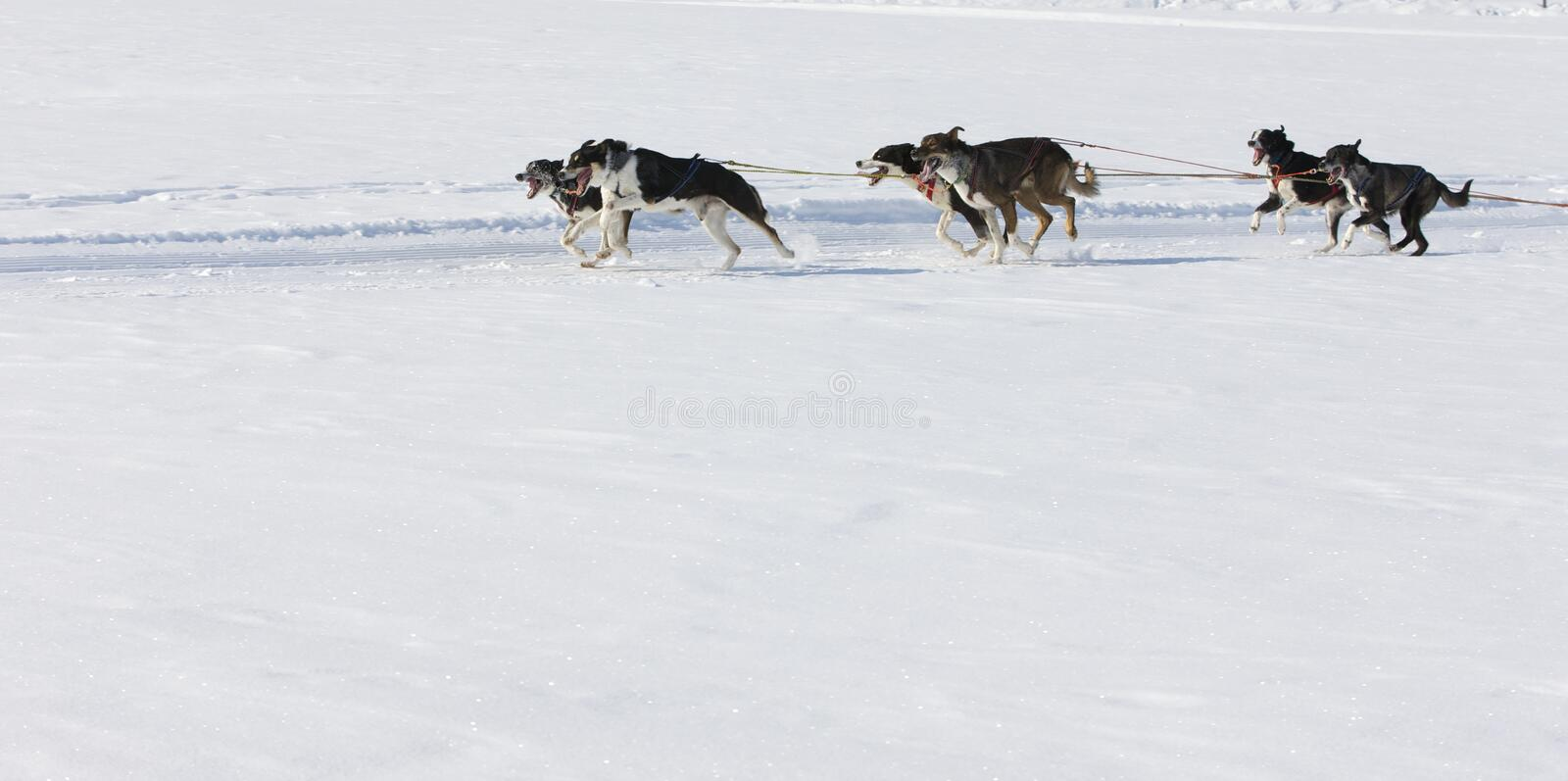 Download Sled Dog Race In Lenk / Switzerland 2012 Stock Photo - Image: 23404636