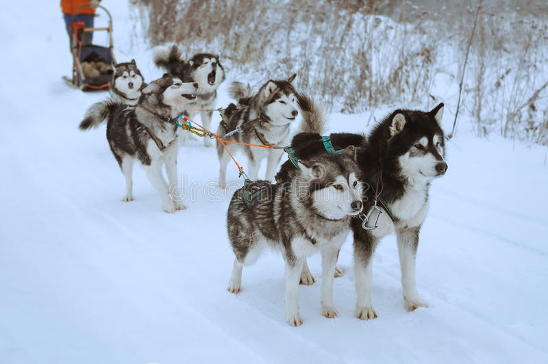 Sled dog race. Riding with a dog team of alaskan malamute, snow dogs, wintertime royalty free stock photo